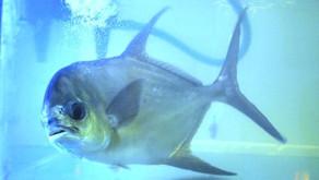 Cara Pembesaran Ikan Bawal Bintang