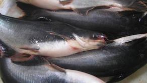 Teknik Pembesaran Ikan Patin