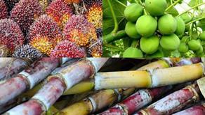 Beberapa Jenis Tanaman Perkebunan Penghasil Bioenergi