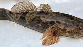 Ikan Betutu, Si Malas Berharga Mahal