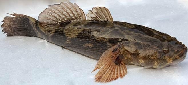 ikan betutu