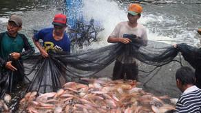 Berbagai Penyakit Ikan Nila Merah dan Cara Mengobatinya