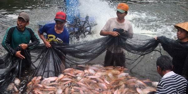 ikan nila merah