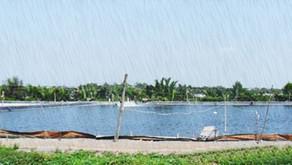 Tantangan Hadapi Curah Hujan Tinggi yang Ganggu Kondisi Tambak