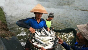 Cara Cegah Bau Lumpur pada Ikan