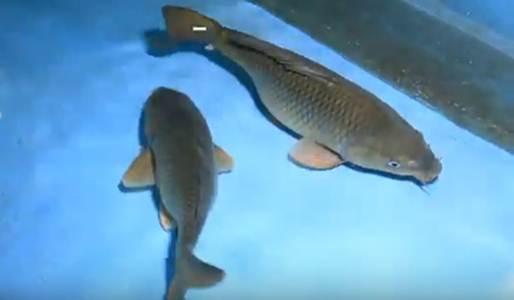 ikan mas Mustika