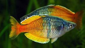 Inilah Si Cantik Ikan Hias Air Tawar Asli Papua