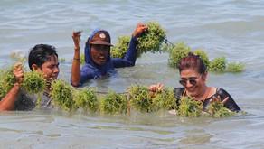 3 Metode Budidaya Rumput Laut