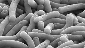 Jenis Bakteri Probiotik Baik dalam Budidaya Udang