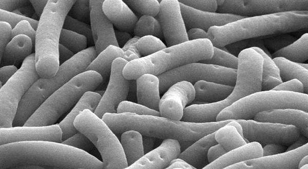 Bakteri Probiotik Budidaya Udang