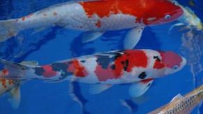 Tips Mencerahkan Kualitas Warna Ikan Koi