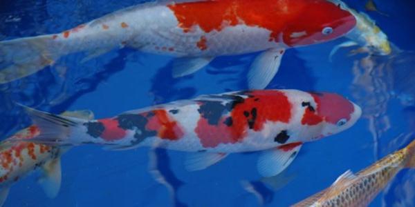 warna Ikan Koi