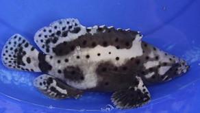 Ikan Kerapu Hybrid yang Menguntungkan Pembudidaya