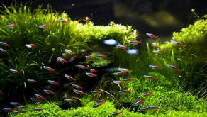 Kasih Sayang kepada Ikan Hias dengan Dekorasi Akuarium Aquascape