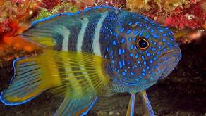 Target KKP dalam Produksi Ikan Hias 2017