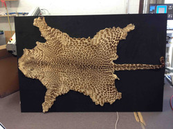 Leopard skin ready for frame and glass