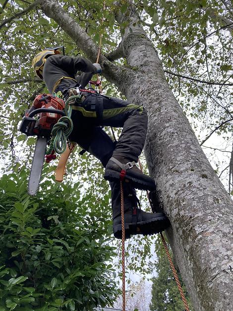 Tree Arborist Climbing
