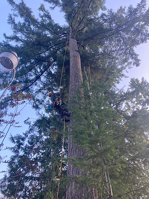 Tree aborist climbing