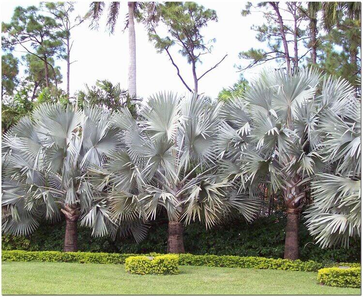 FORMAL PLANTING OF BISMARK PALMS IN THE LANDSCAPE