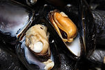 mussels_male_female.jpg