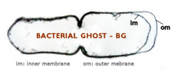 Bacterial Ghost (IM and OM)