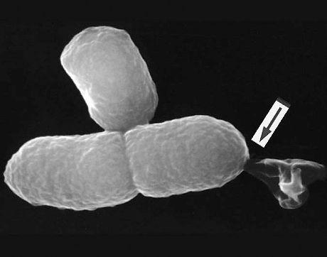Bacterial Ghost