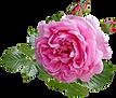 rose-4316155_1920.png