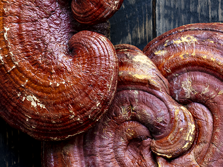 Everything you need to know about Reishi