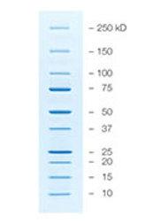 Marcador de Proteínas,        Precision Plus Protein Unstained Protein