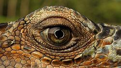 Dragão de Komodo.jpg