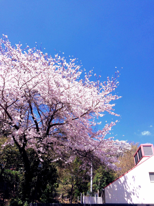 ソメイヨシノ:Sakura