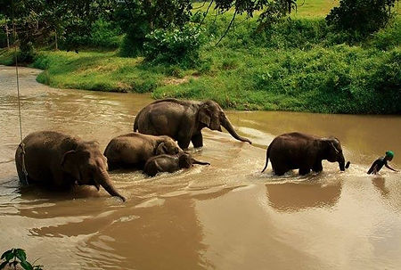 Chi followed by the herd of elephants