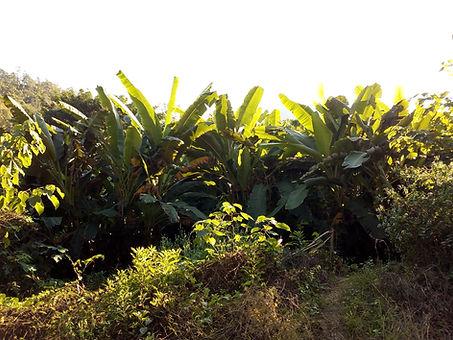 Bananas plantation