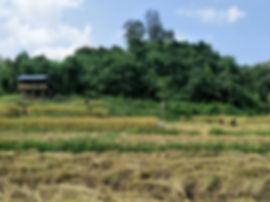 Karen people workingin rice fields