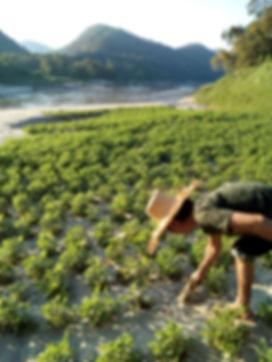 Peanuts plantation on the bank of te Salawin river