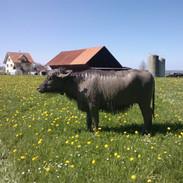 Wasserbüffel nach dem Suhlenbad