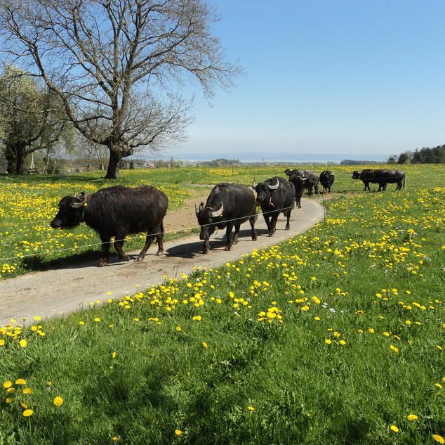 Büffel kommen von der Weide