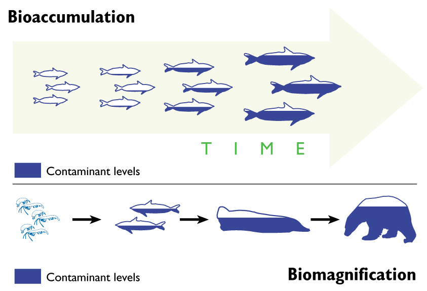 Bioaccumulation and Biomagnification in the marine environment ...