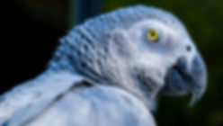 african-gray-parrot-2880405.jpg