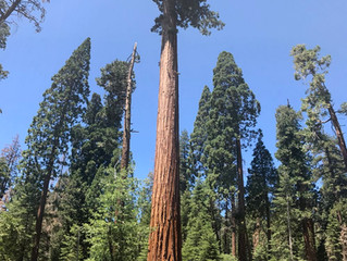 Giant for a Day: Sequoia National Forest, California