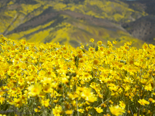 California Super Bloom: Carrizo Plain National Monument