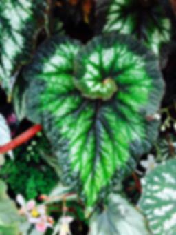 heart leaf.webp