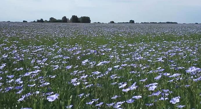 Flax fields.tiff