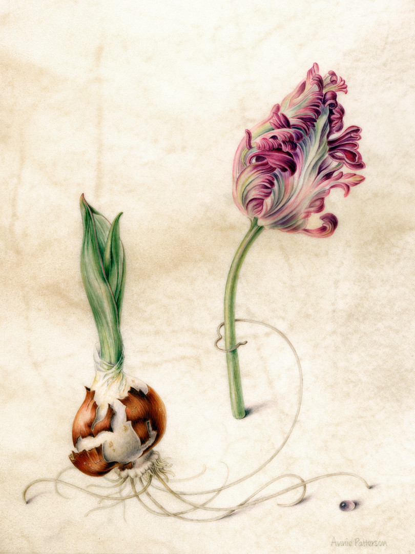 Parrot tulip and bulb.jpg