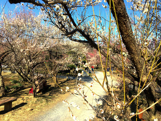 The flowers that informer of Japan earliest arrival of spring