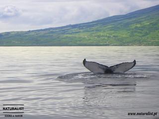 Humpback whale | Baleia de bossa - Megaptera novaeangliae