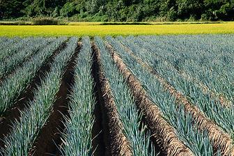 Welsh Onions.jpg