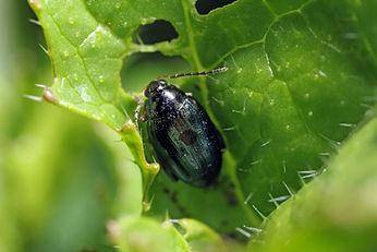 Beetle on rape plant.jpg