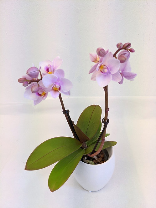 Mini Orchid with pot