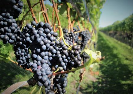 Grapes Merlot.jpg